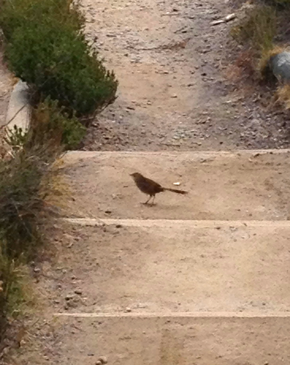 The endangered Eastern Bristlebird. Awesome wildlife photography courtesy of me and my iPhone 4S.
