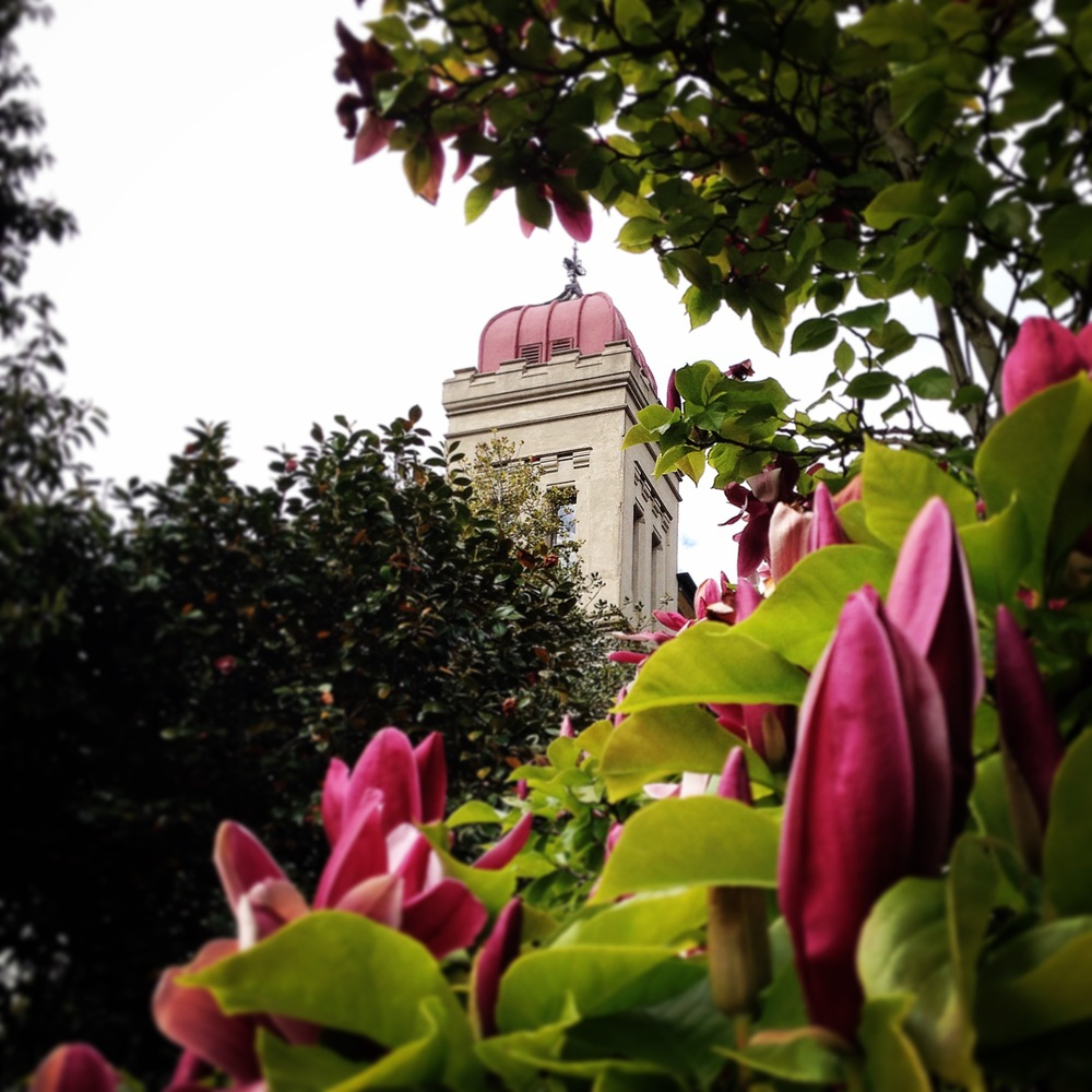 Daylesford's Convent Gallery. Peeping through the blooming magnolia.
