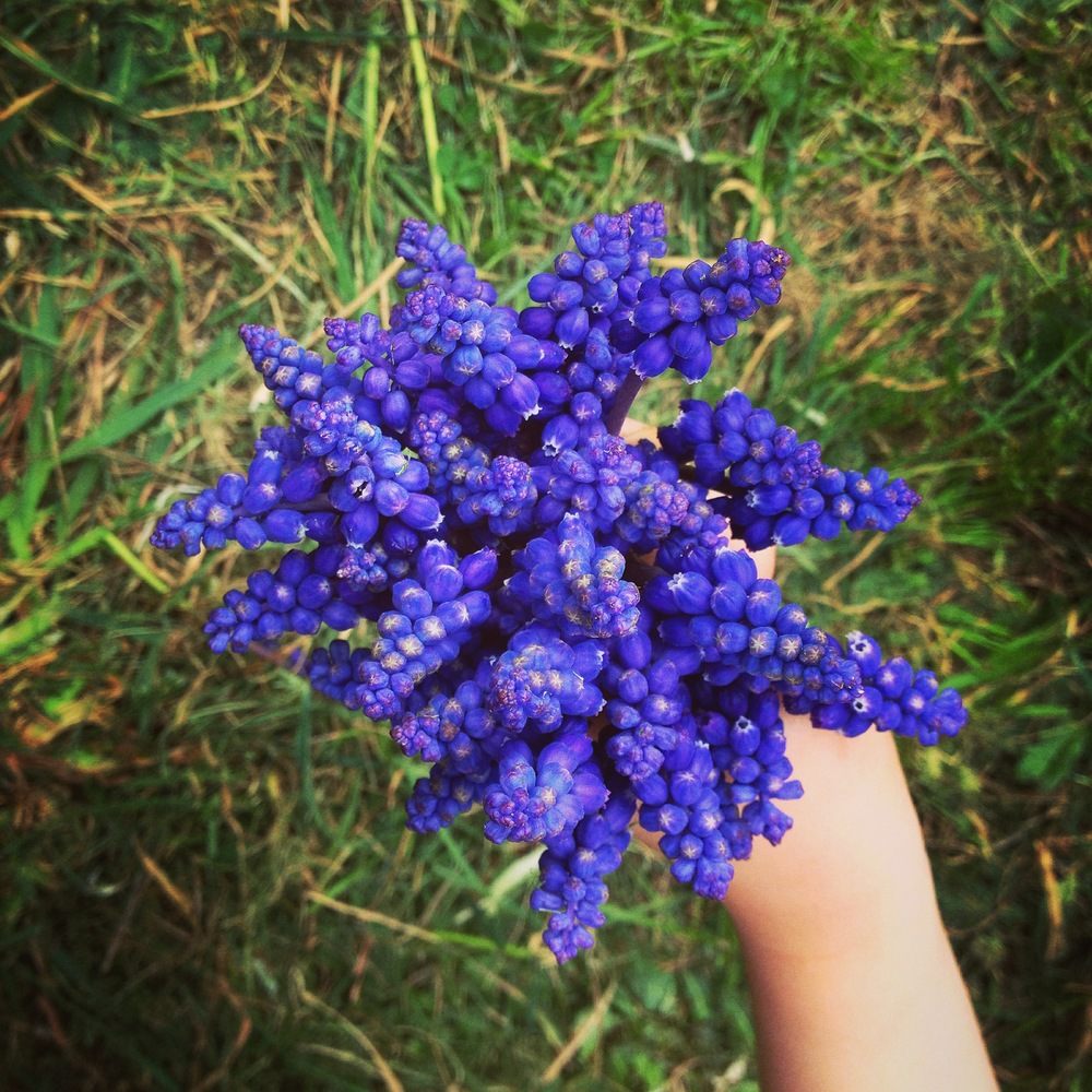 Grapes grow well in a cool climate... as do Grape Hyacinths
