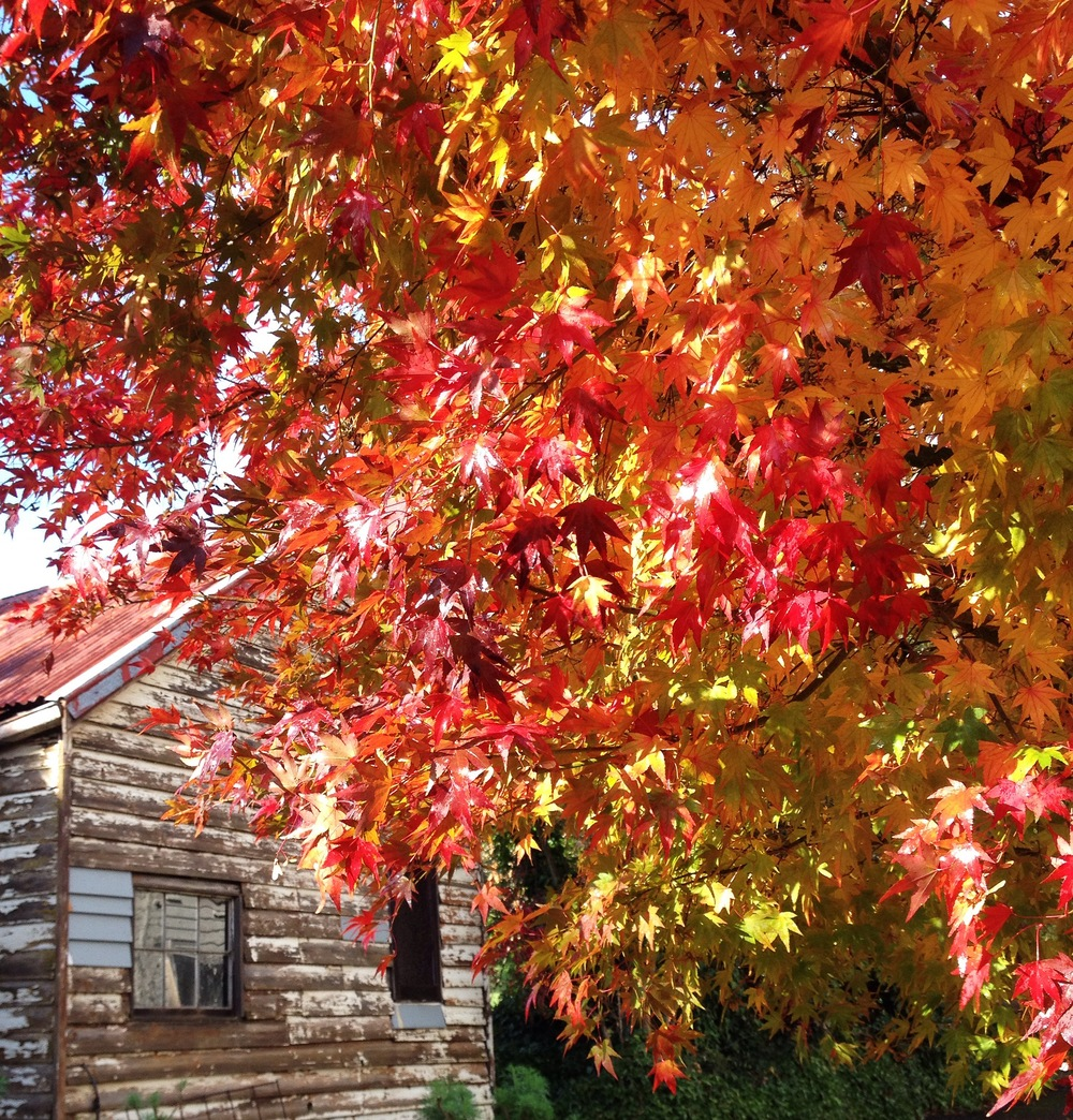 The tiny rickety cottage flanked by UNBELIEVEABLE Japanese Maple flaunting its Autumn best. - What's not to love!?