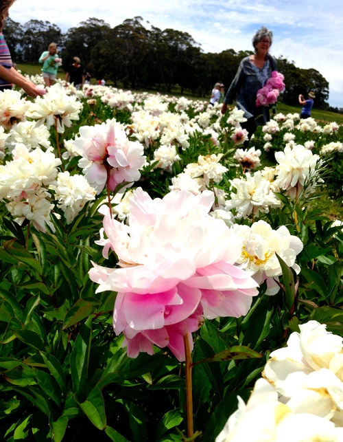 Peony heaven in the Spring Hill Peony Farm paddock last year.