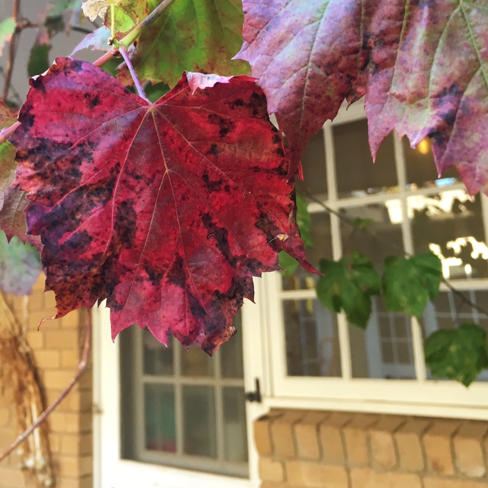 The ornamental vines are well on their way to crimson splendour.