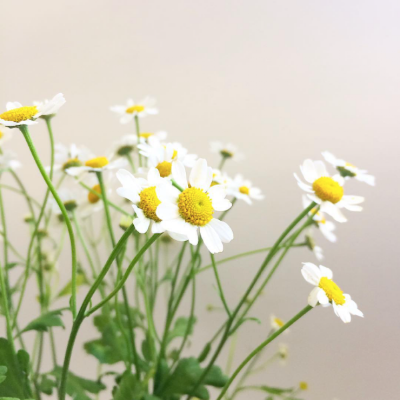 chamomile.png