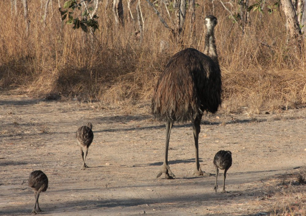 Daddy emu is in charge of the chicks.  We saw him near the lodge every day, always very protective of his little charges.  Here they're heading bush for the night.
