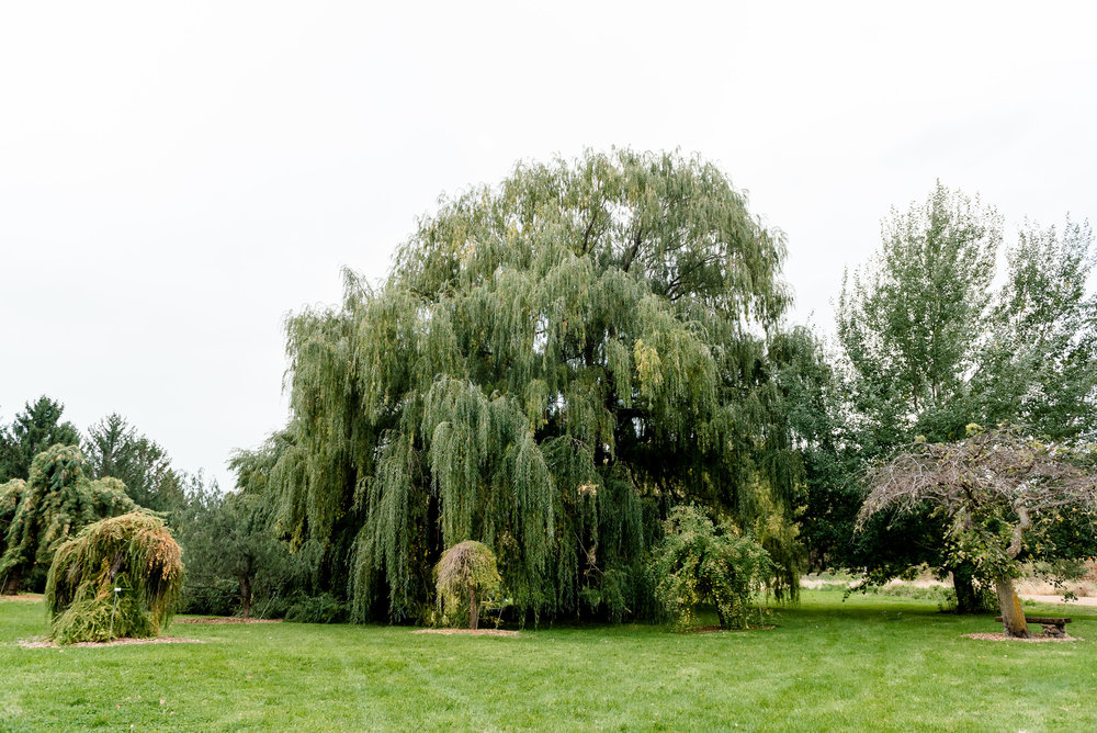 Weeping Willows Wedding Ceremony Site at MN Landscape Arboretum - Chaska MN Wedding Photographer