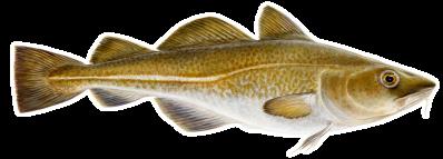 Atlantic cod(Gadus morhua – Þorskur)