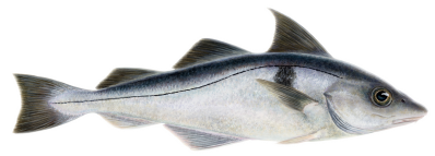 Haddock(Melanogrammus aeglefinus – Ýsa)