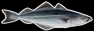 Saithe(Pollachius virens – Ufsi)
