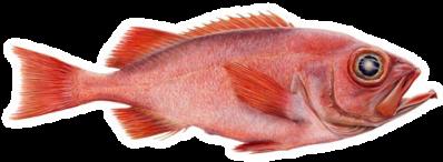 Golden Redfish(Sebastes marinus – Karfi)