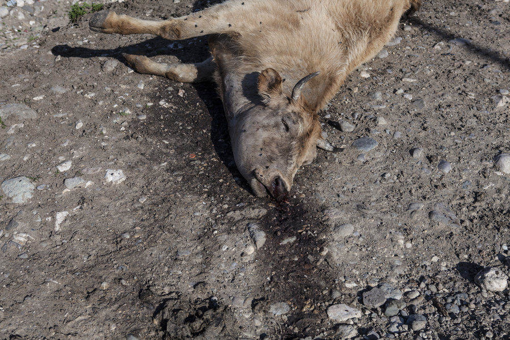 Many cattle killed during shelling in the village of Talish.