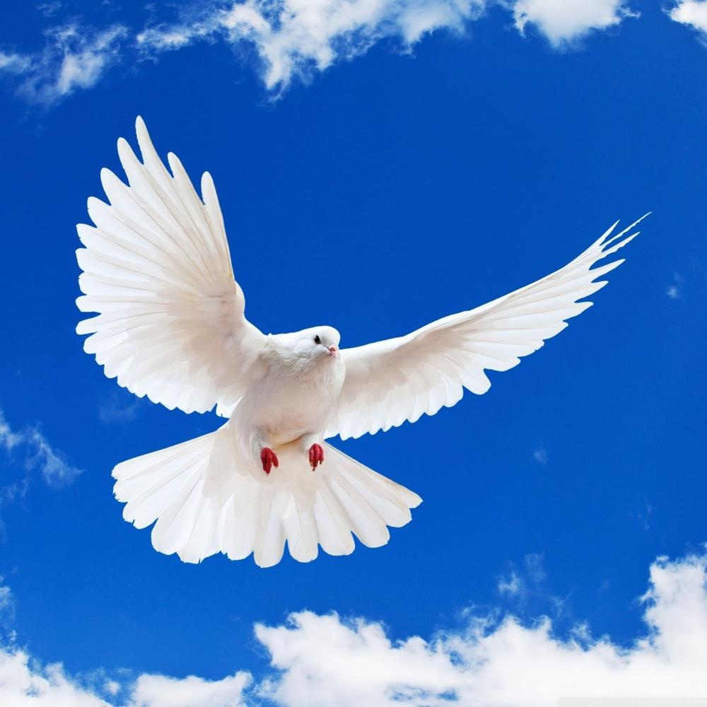 white-dove_00069459.jpg