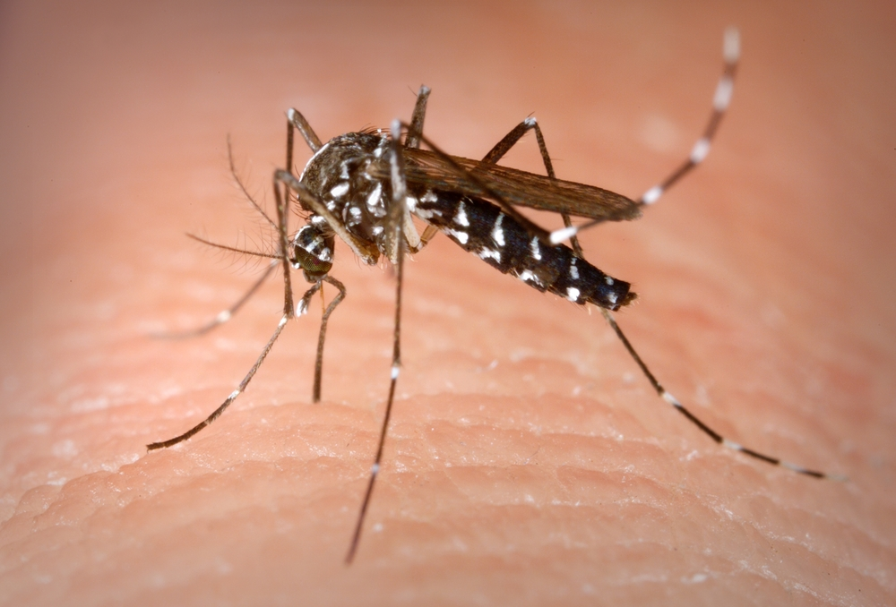 The Aedes albopictus mosquito. Image courtesy of the CDC.