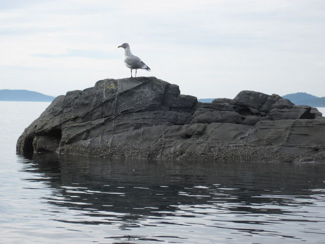 This gull was funny.  He kept looking at me suspiciously out of the corner of his eye.
