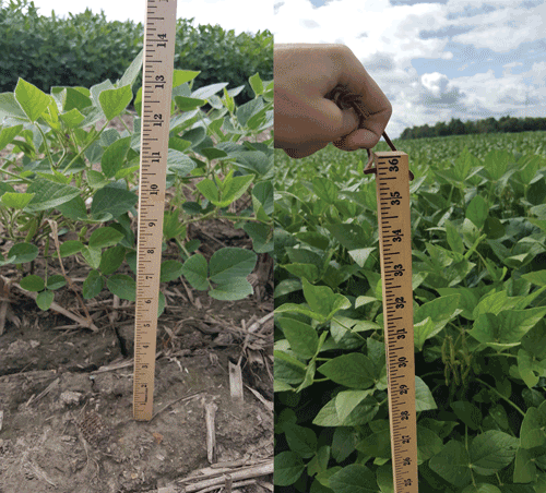 On the right, soybeans treated with CropPro+, microbes with NPK, grew to 35 inches. The soybeans on the left were not treated. The treated soybeans can be seen in the background of the untreated soybeans.