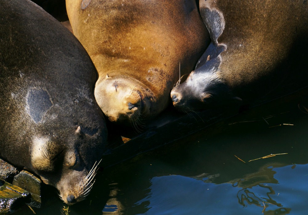 Sea Lions on the Columbia River in Astoria