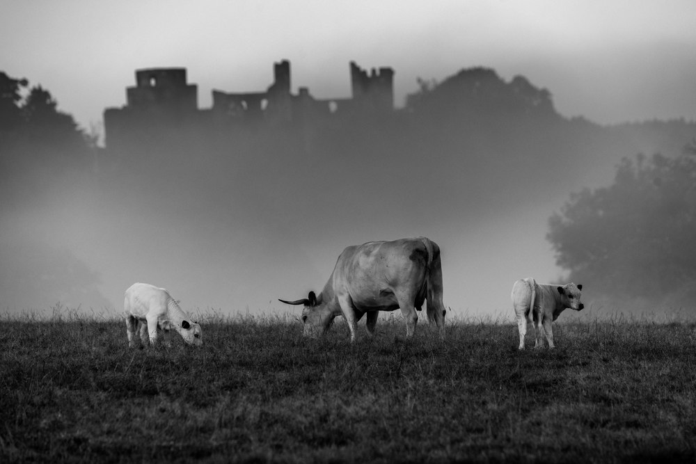 White Cattle graze in the early morning sun shine. Dinefwr castle sits in the mist in the background.