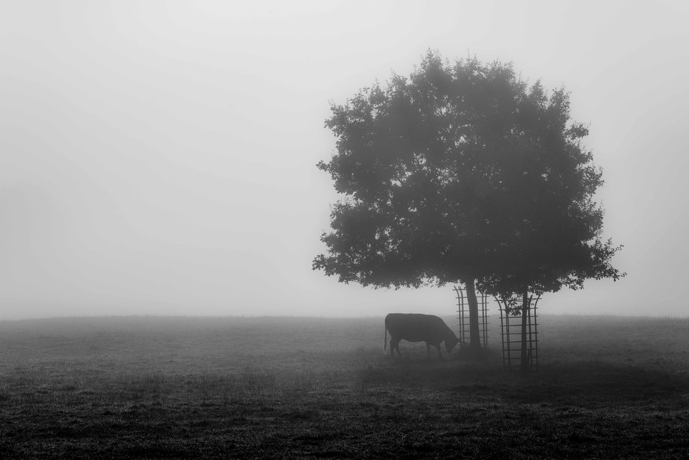 The lonely cow