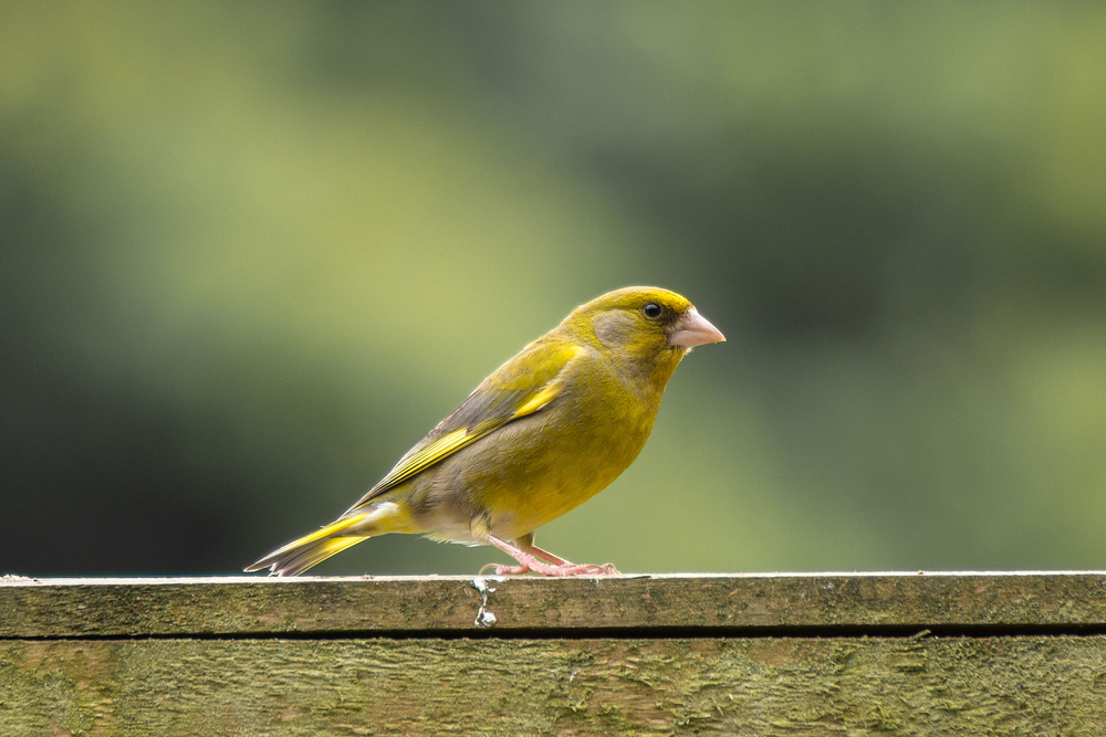 Green finch in the garden...