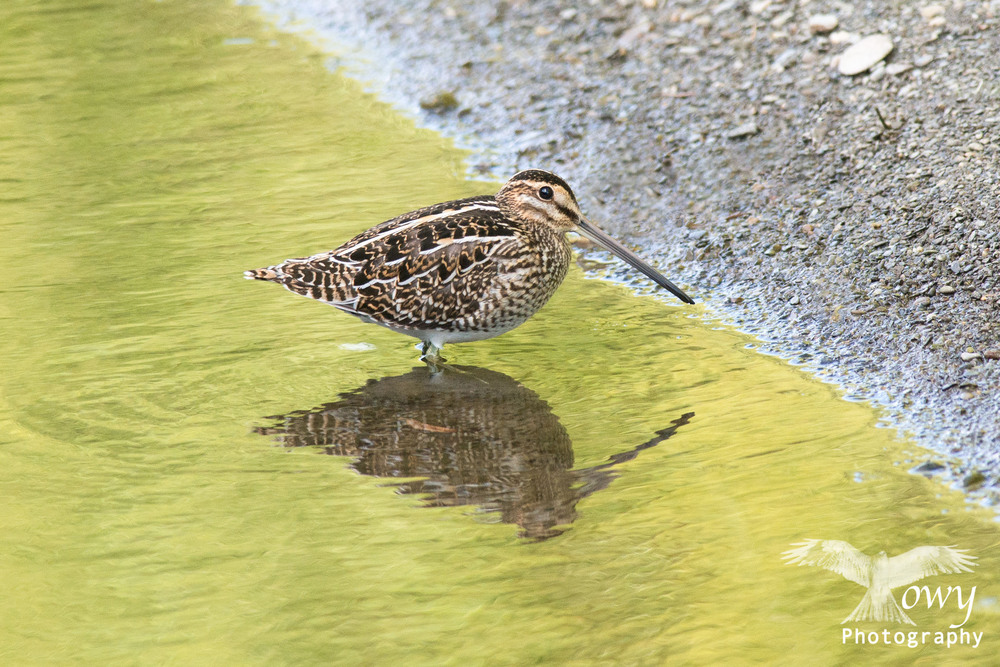 A Snipe hunts in a back water of the Towy