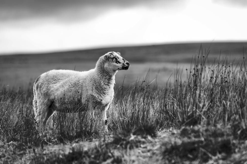 Mountain sheep graze on the Mountain side