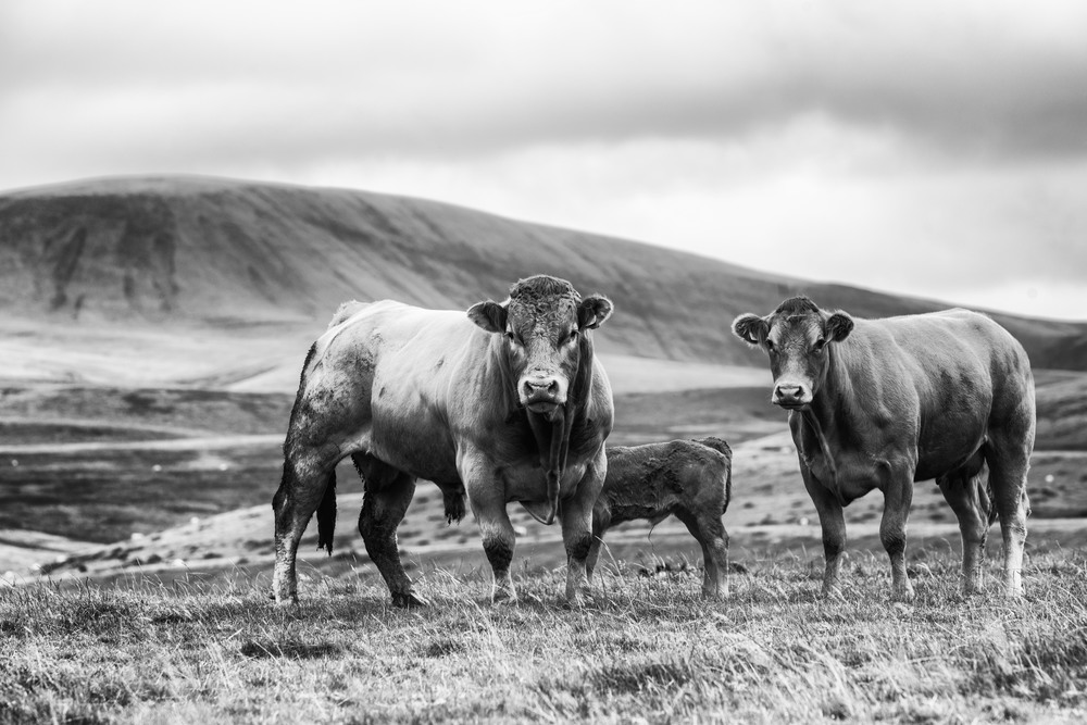 Bull, calf and mother on the Black Mountains