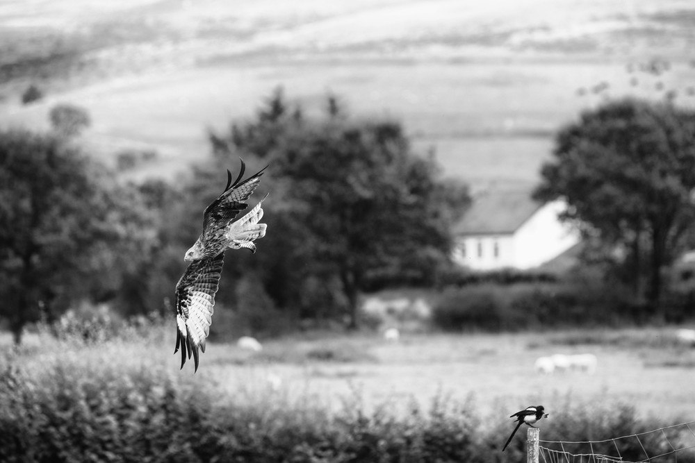 Kites swoop
