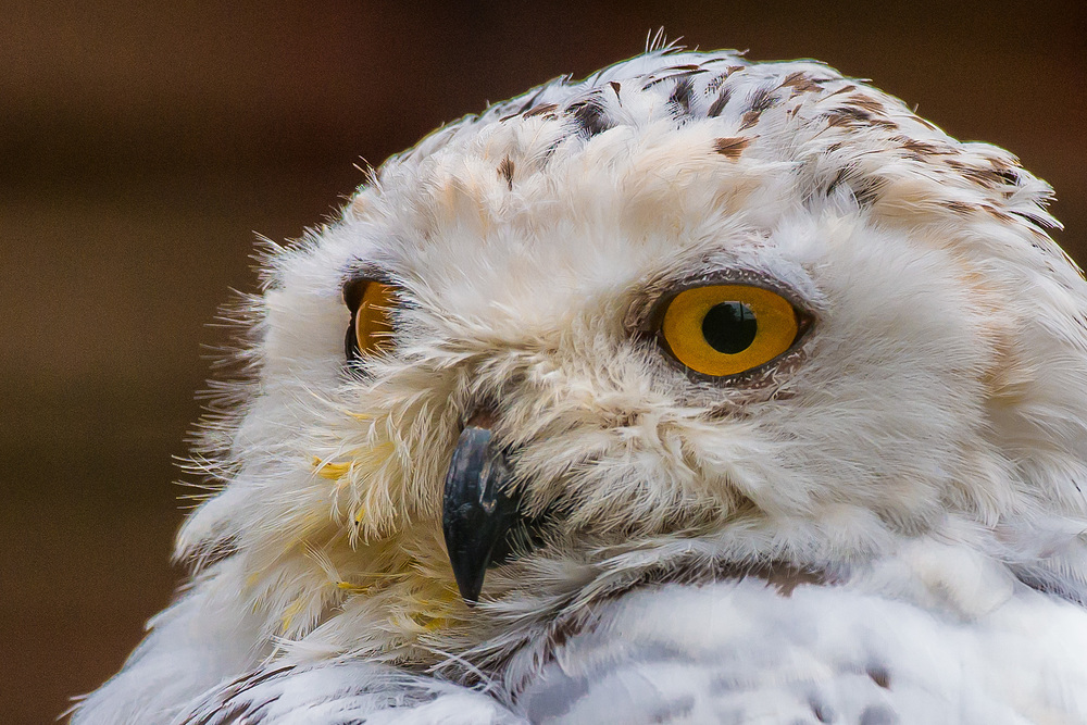 A beautiful snowy owl close up - almost looks like there is no cage!