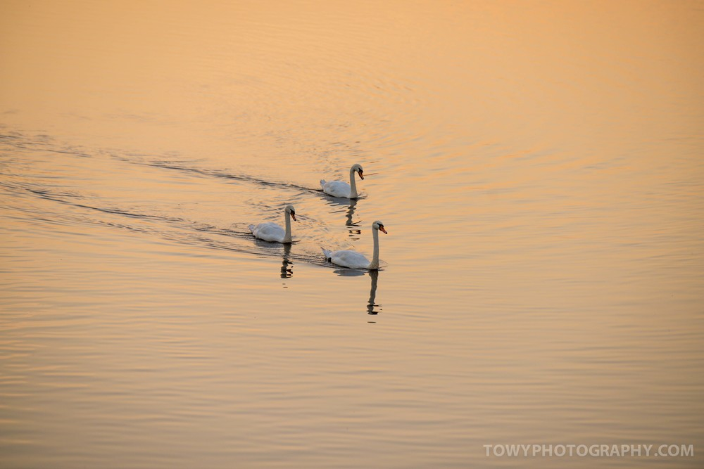 A beautiful sight in the evening light - SWANS GLide along the towy