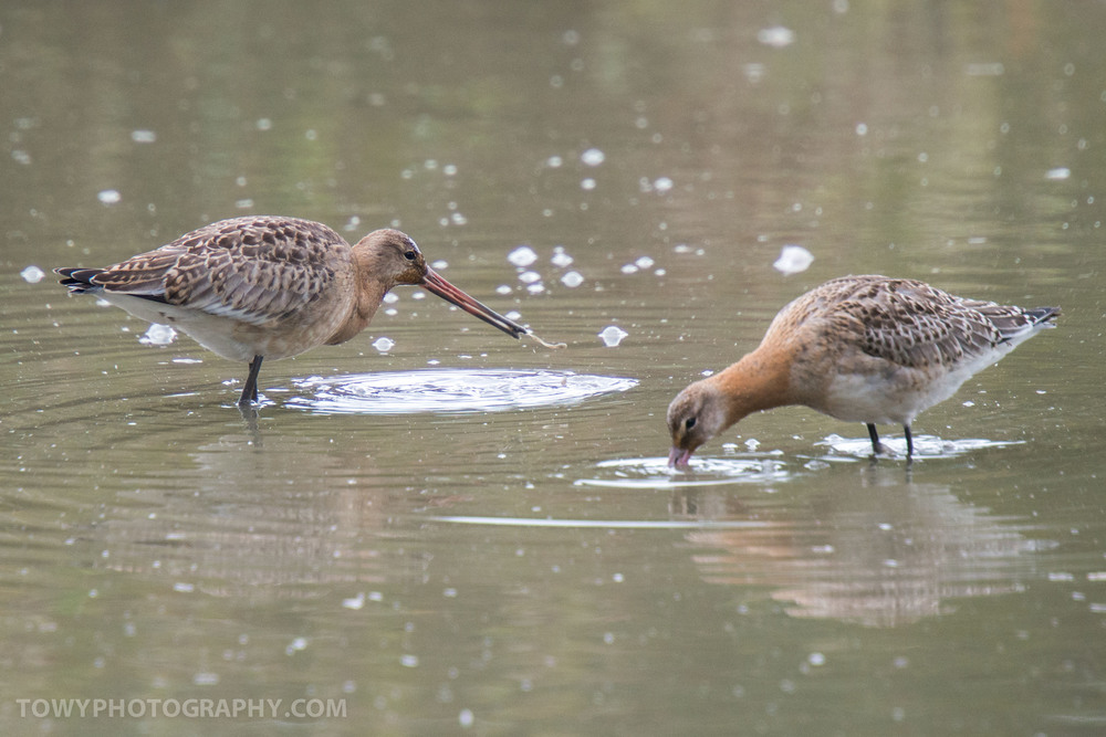 Godwits Wading for lunch