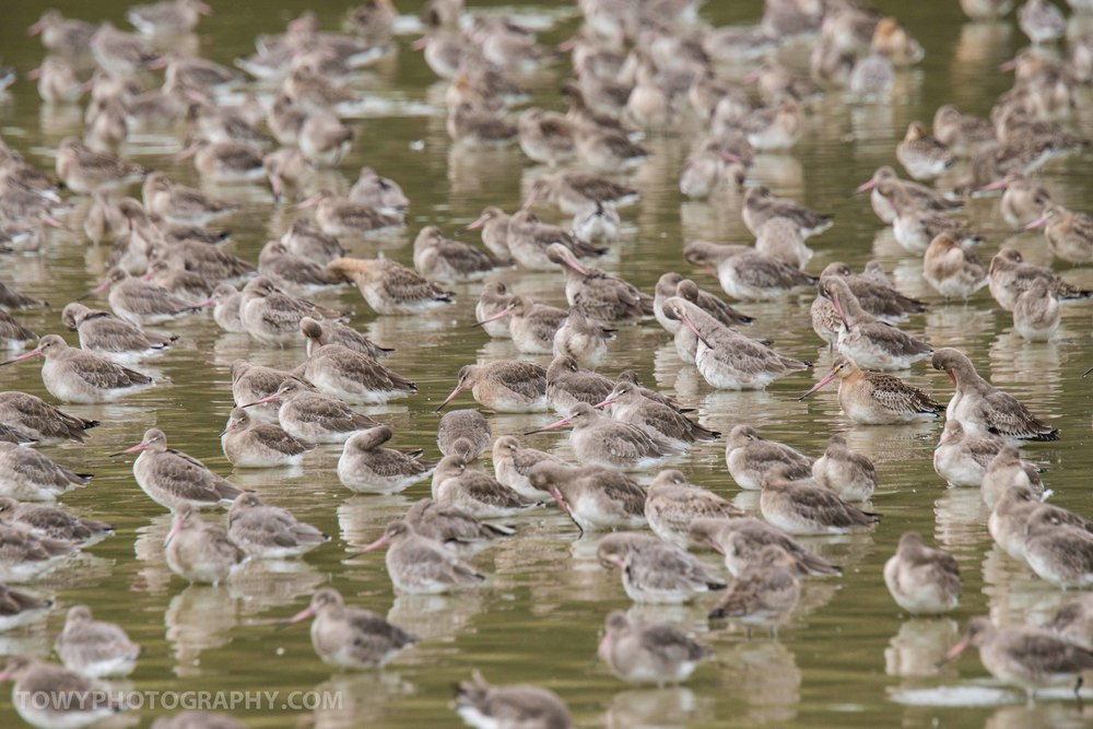 Lots of Godwits!