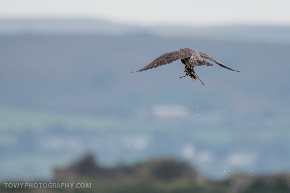 A Peregrine captures a small Knot