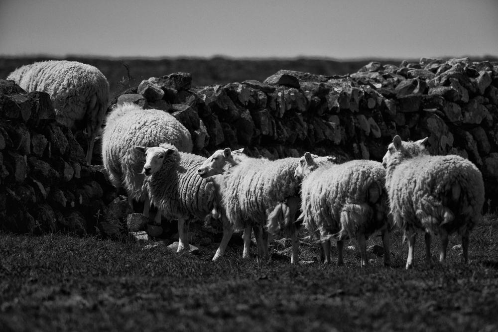 Ramsey Island Sheep HR-2.jpg
