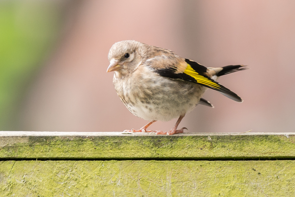 Tubby young Gold Finch