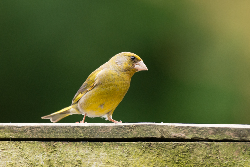 The Beautiful Green Finch watches on.....