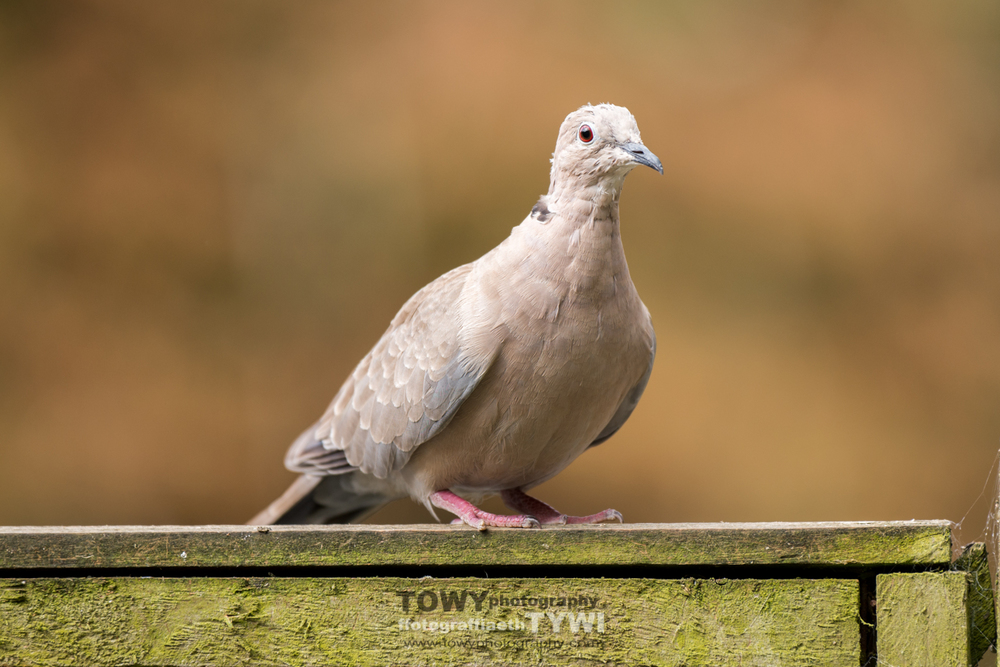 Beautiful eye on the Collard Dove