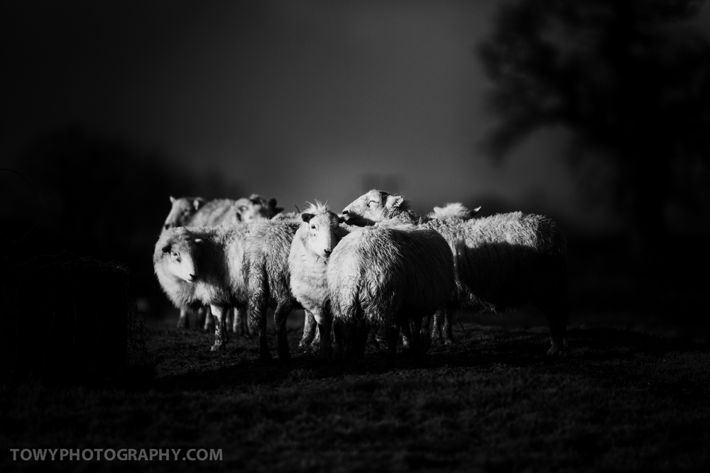 20150117_Livestock_Sheep-2.jpg