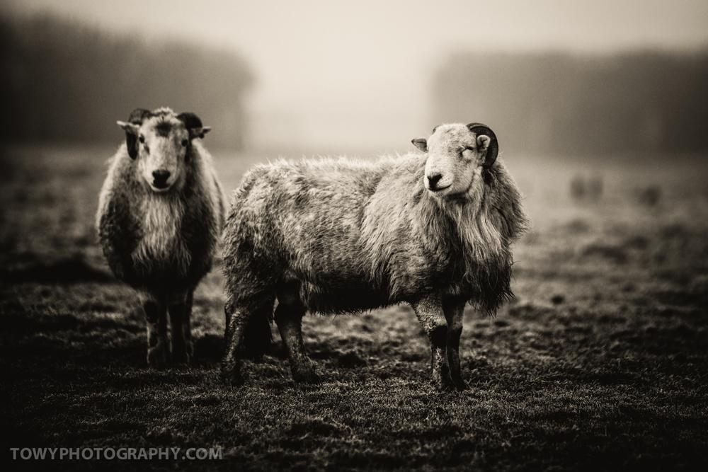 20150117_Livestock_Sheep-3.jpg