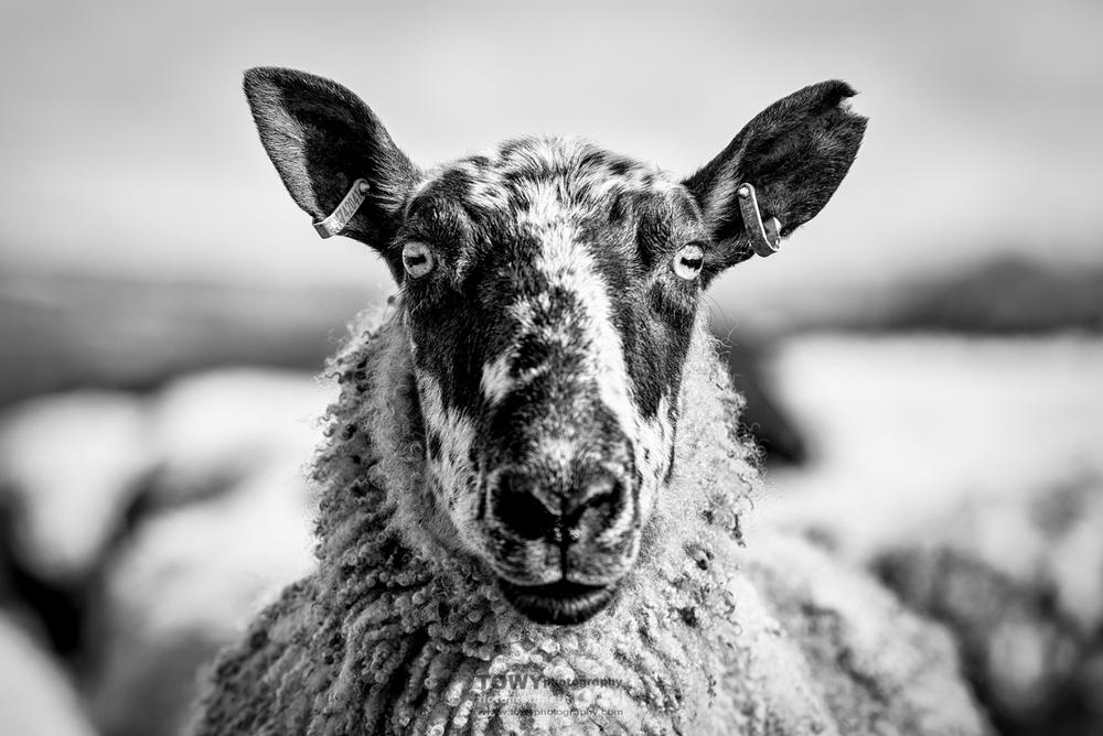 20150321_Livestock_lambs-69-Edit.jpg