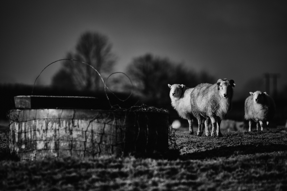 20150117_sheep-5.jpg
