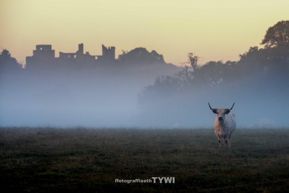 white cattle-2.jpg
