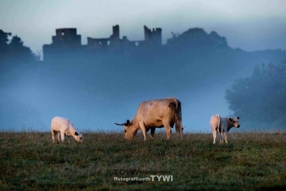 white cattle-3.jpg