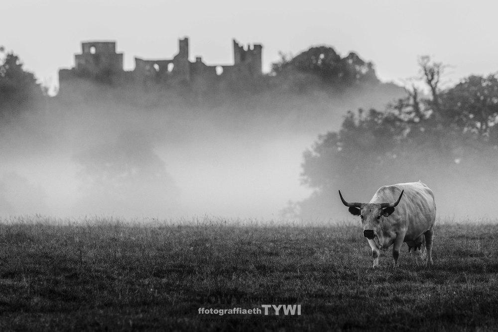 white cattle-4.jpg