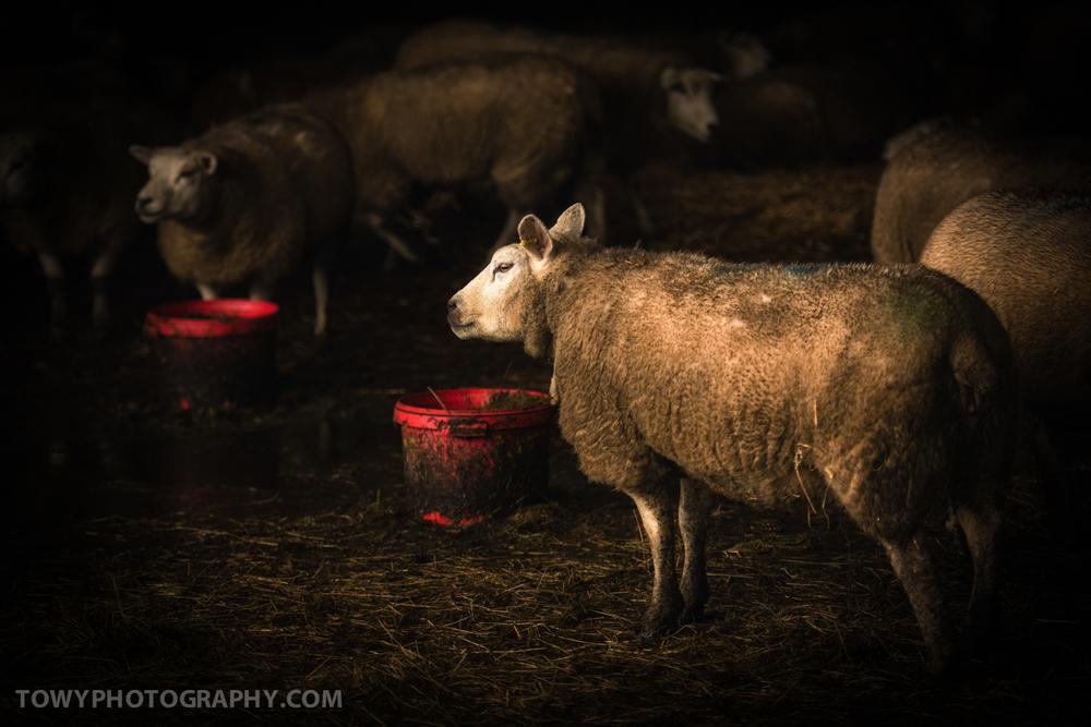 20150118_sheep-2.jpg