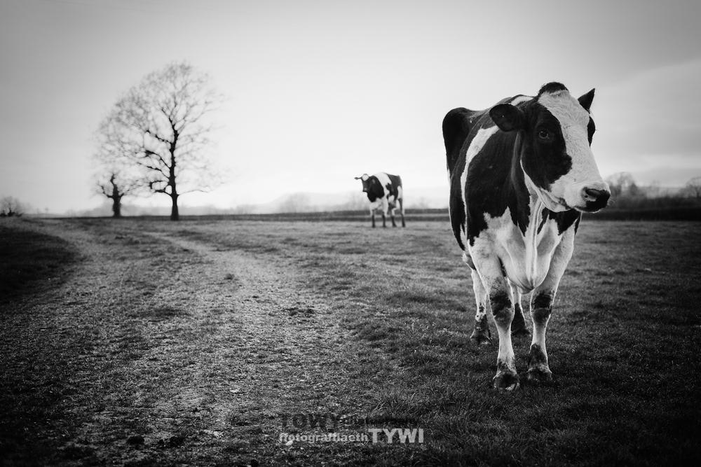 20140412_Livestock_cows-19-Edit-3-Edit.jpg
