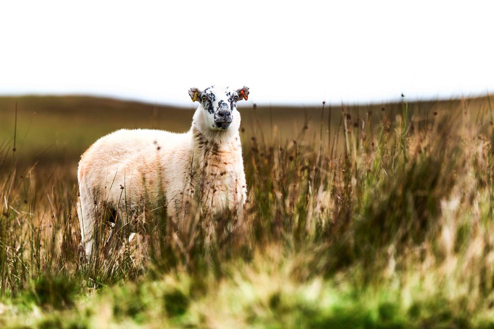 20140830_landscape_blackmountains_sheep.jpg