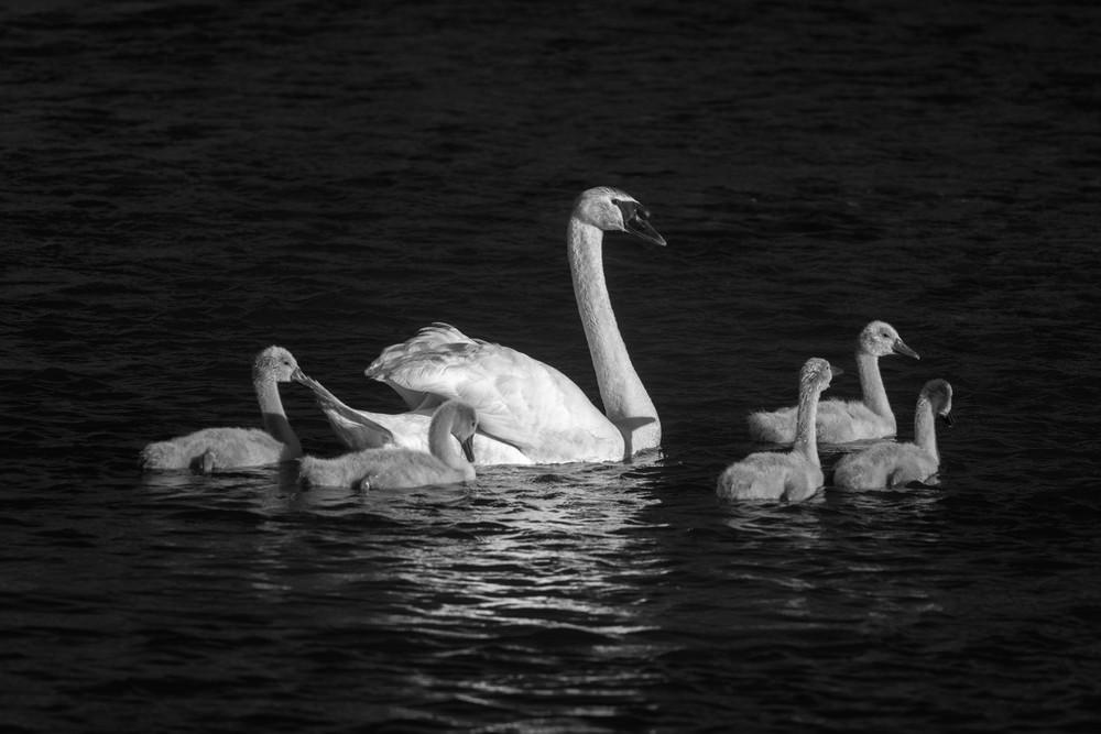 swans-2.jpg