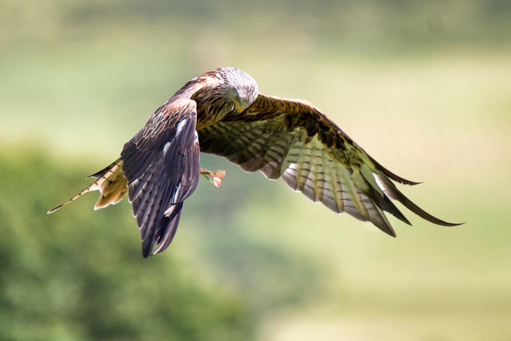 20140803_Wildlife_Kites-8.jpg