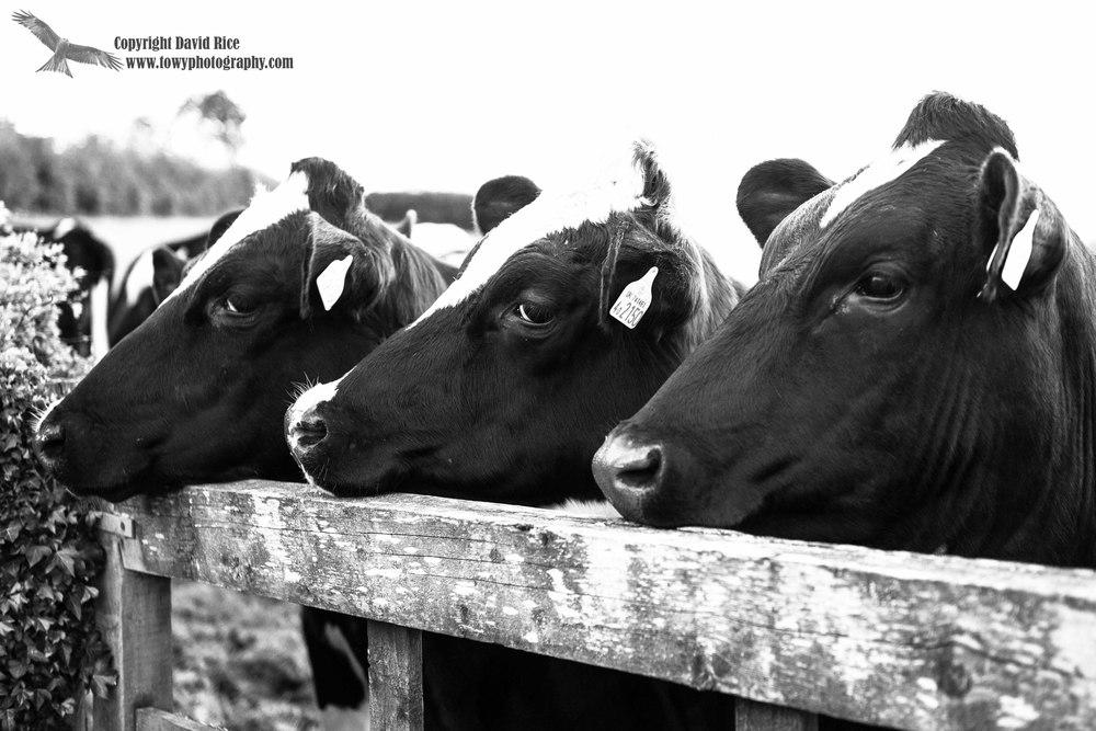 Cows_18052013-5a_edited-1.jpg