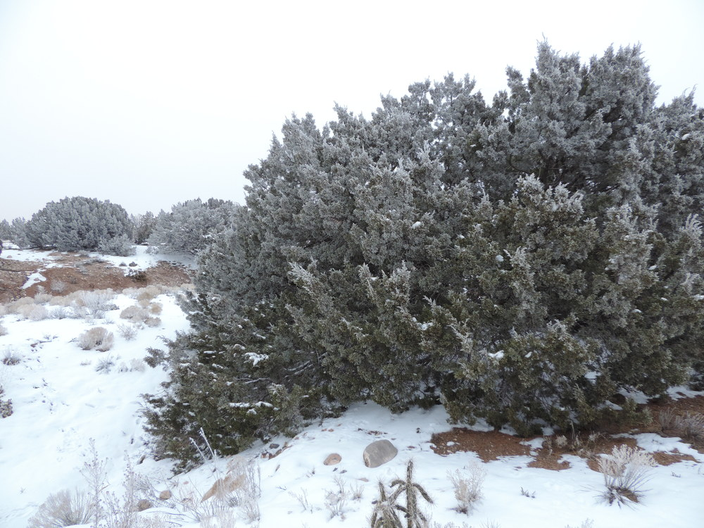 Frosted junipers.