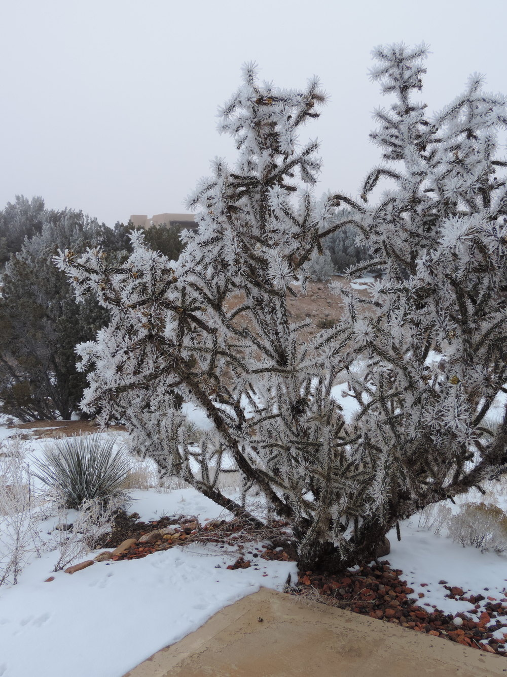 The entire 8-foot cholla, decked in ice crystals.
